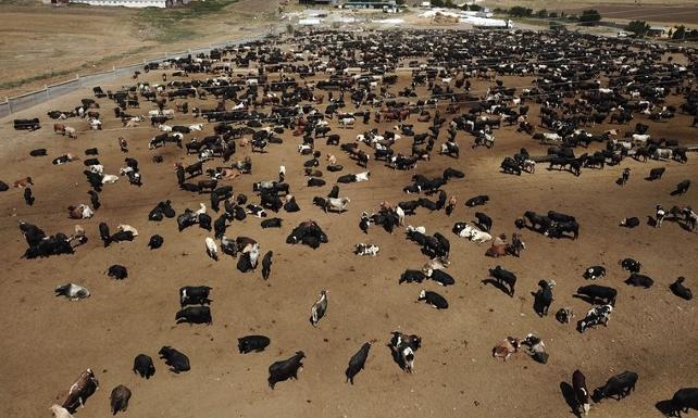 CHP'den şarbon açıklaması: Ankara'da 100'e yakın ölen hayvan var