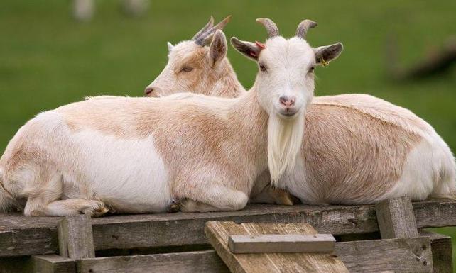 Keçiler mutlu yüz ifadeli insanlara daha çok yakınlık duyuyor